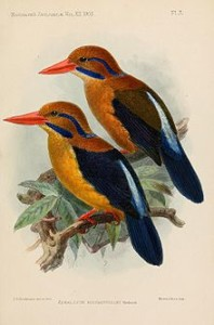 Actenoides bougainvillei excelsus
